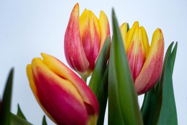 Tulips 1.jpg